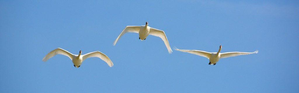 flying swans, blue, sky